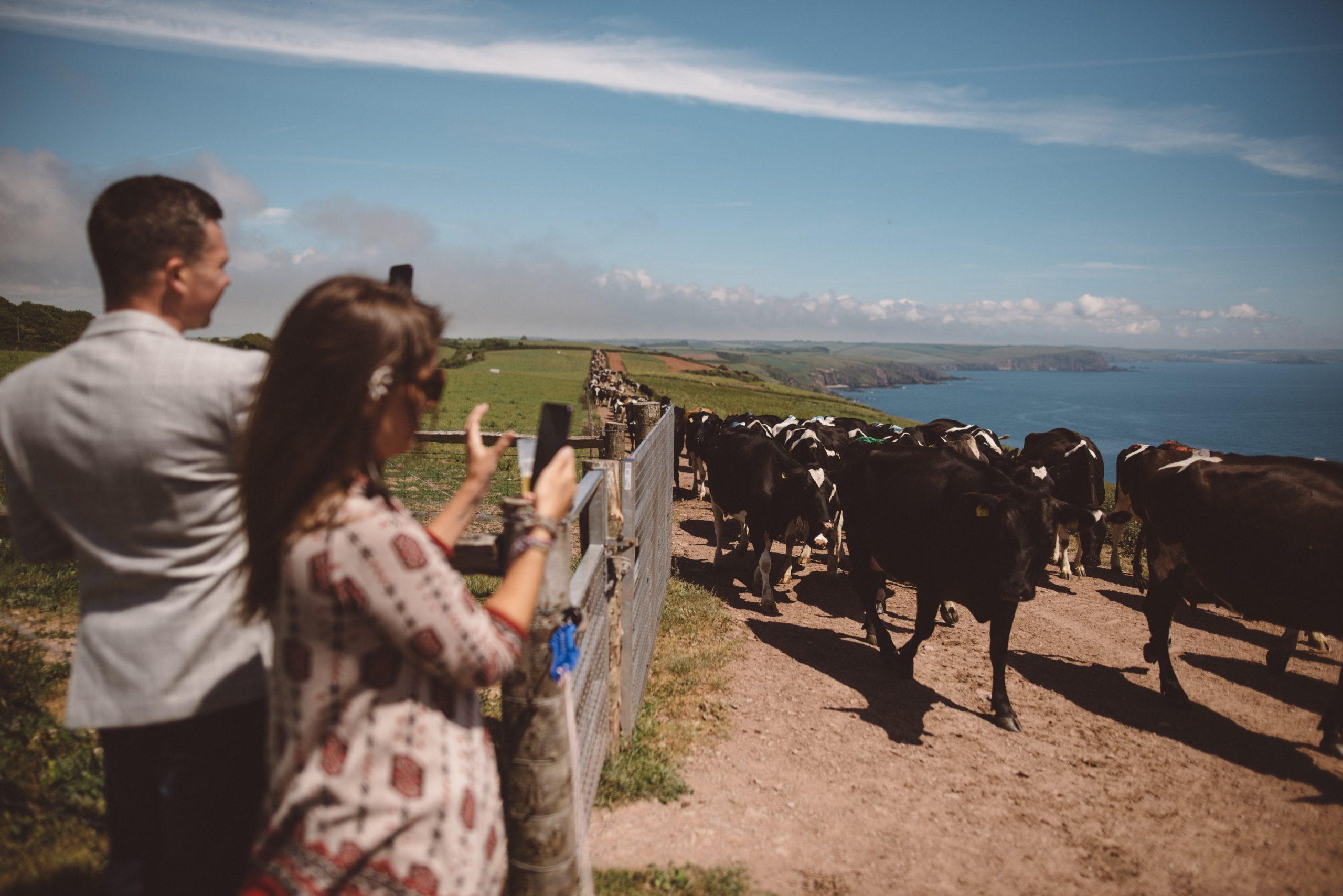herd of 500 cows at Carswell weddings Devon