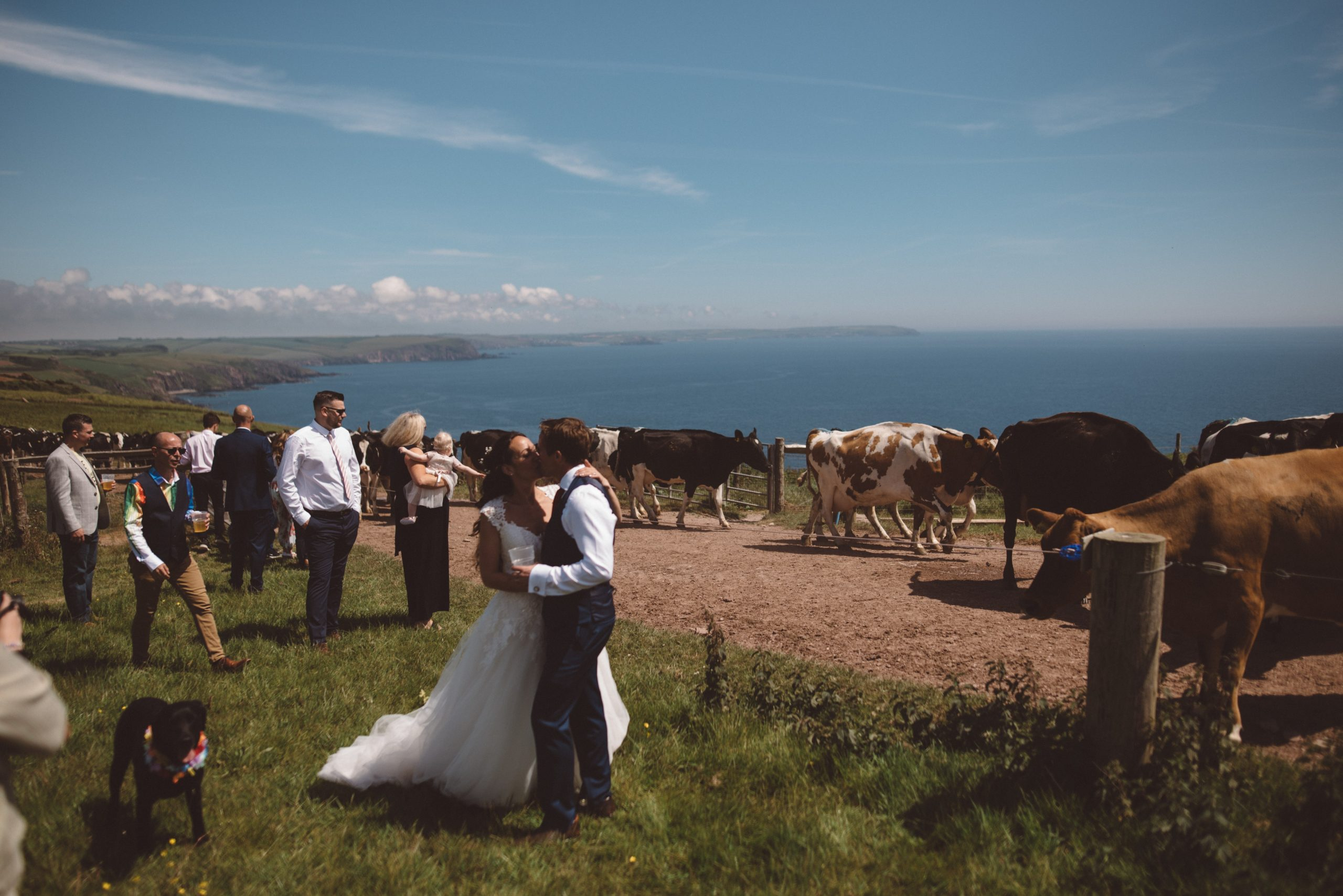 bride & groom with 500 cows at Carswell weddings